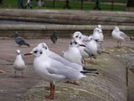 Seagulls In Hyde Park